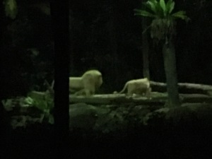 Night Safari - Lions